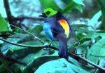 bird_of_paradise_drums_beating
